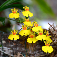 Орхидея в саду орхидей, Фуншал, Мадейра, 2016