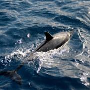 Дельфин. Мадейра, 2016