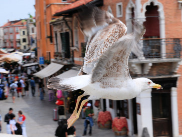 Венеция. Чайка