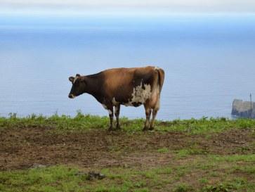 Корова и море. Сан Мигель