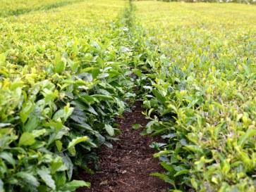 Плантация чая. Сан Мигель