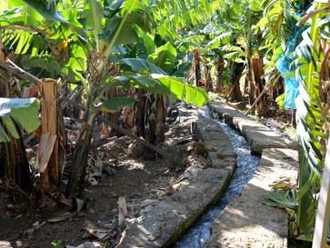 Банановые плантации. Понта ду Сол. Мадейра