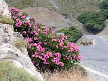 Цветы вдоль дороги на западе острова Крит. Июнь 2015