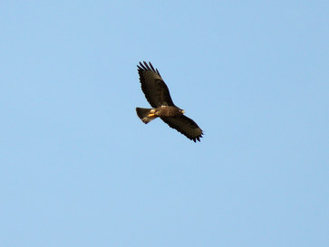 Орёл в национальном парке Доньяна. Испания, 2015