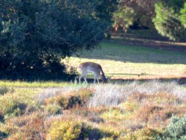 Олень в национальном парке Доньяна. Испания, 2015