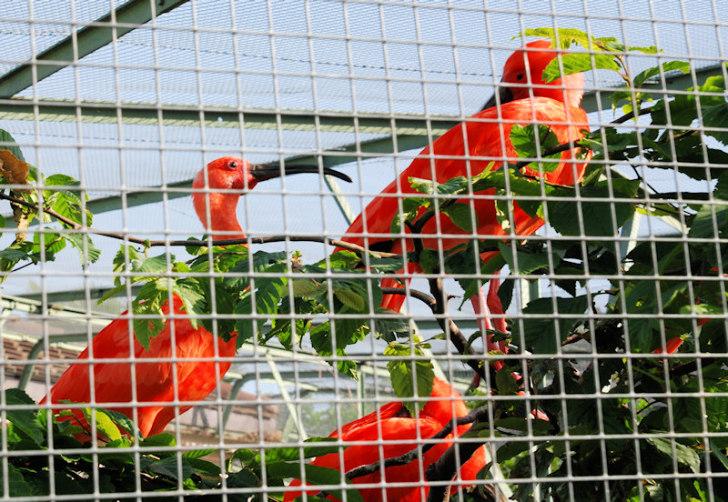 Цуг. Красные ибисы
