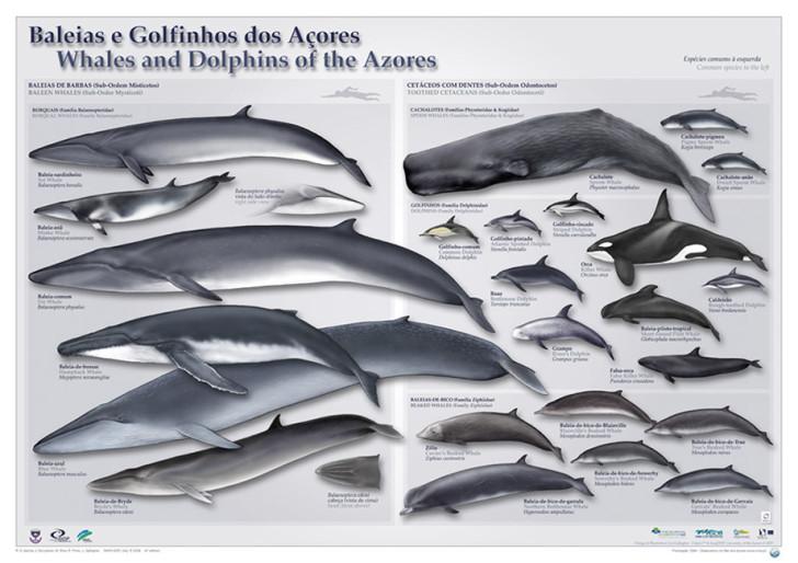 Киты и дельфины на Азорах