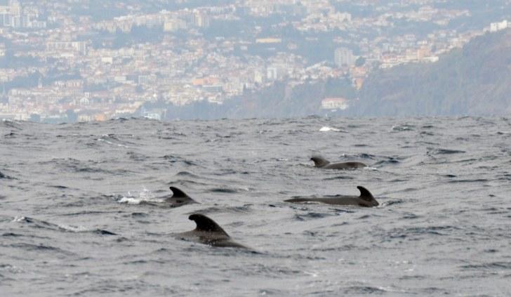 Киты-пилоты (гринды) на фоне Фуншала. Мадейра, 2015